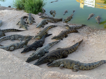 crocodiles Tho Larroque